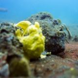 Frogfish, Indonesien, Lembeh, Tauchen-2