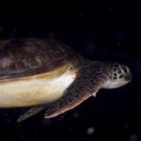 Schlafende Schildkröte